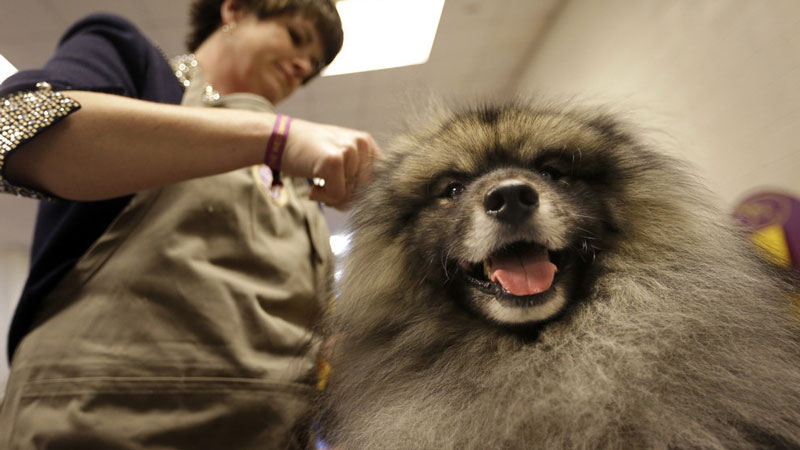 Jean Gauvhat-Hargis fluffs Cubit, a keeshond, in the benching area on Monday. AP Photo/Mary Altaffer